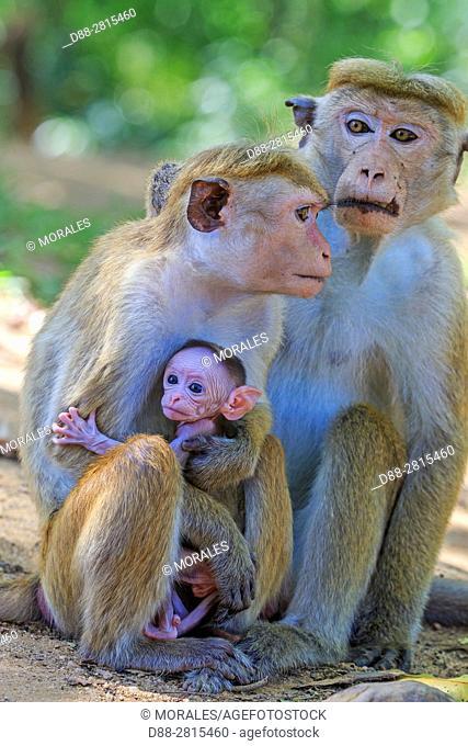 Sri Lanka, Yala national park, Toque macaque (Macaca sinica)