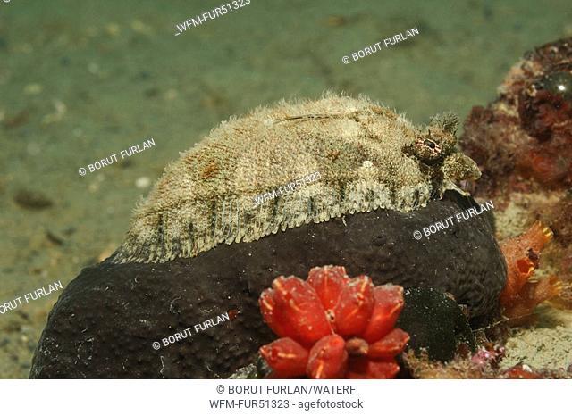 Blochs Topknot, Phrynorhombus regius, Piran, Adriatic Sea, Slovenia