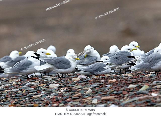 Norway, Svalbard, Spitsbergern, Black legged Kittiwake (Rissa tridactyla), resting in the beach