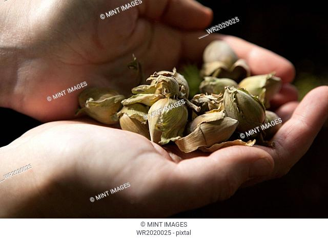 Close up of hands full of fresh hazelnuts