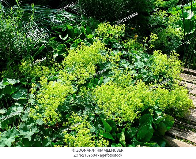 Alchemilla mollis, Frauenmantel, ladies mantle