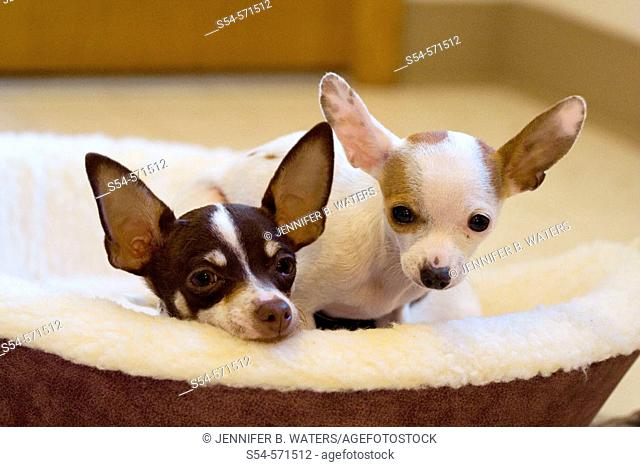 Two six month old Chihuahua puppies resting