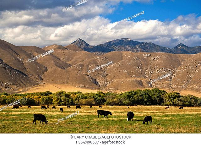 Cattle graze in pasture below rugged hills near Weldon, Kern County, California