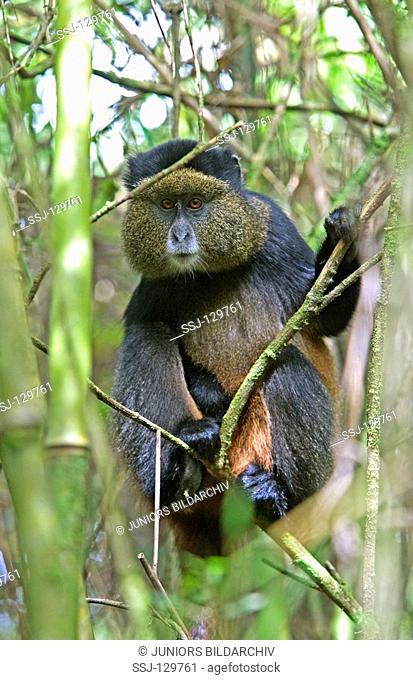 golden monkey - on tree - Cercopithecus kandti