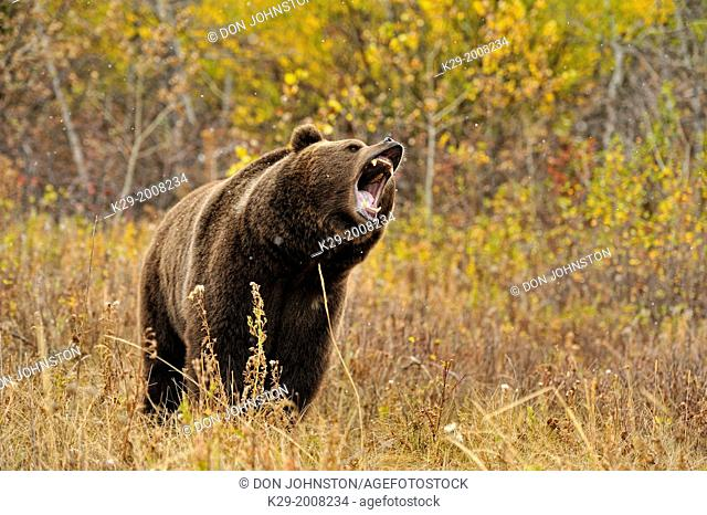 Grizzly bear (Ursus arctos) in late autumn mountain habitat, Bozeman, Montana, USA