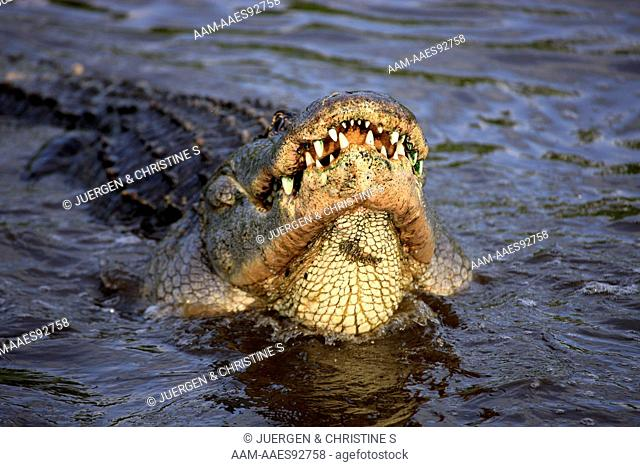 American Alligator (Alligator mississipiensis) adult males courting in water, Florida, USA