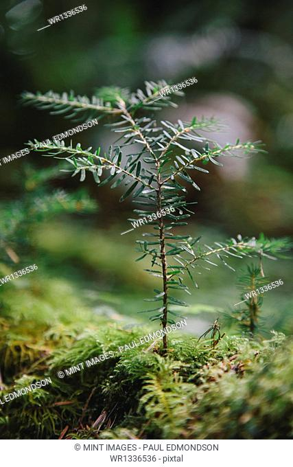 Close up of a Western Hemlock sapling in lush, in the Hoh temperate rainforest
