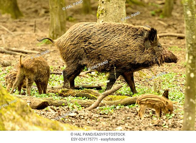 boars, large and small, graze in city park, Stuttgart