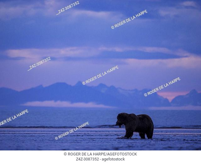 Coastal brown bear, also known as Grizzly Bear (Ursus Arctos). Cook Inlet. South Central Alaska. United States of America (USA)