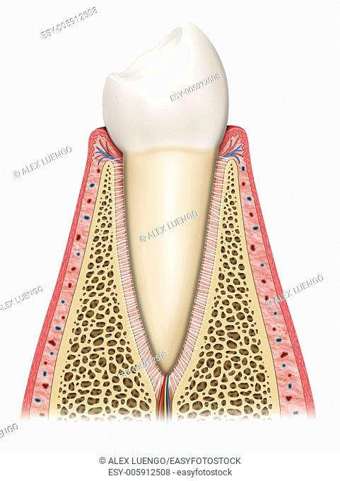 Schematic illustration of the interior of a healthy tooth where we can see the different layers and elements that compose