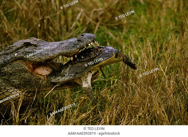 Alligator w/Fl. Softshell Turtle (Alligator mississippiensis) Florida