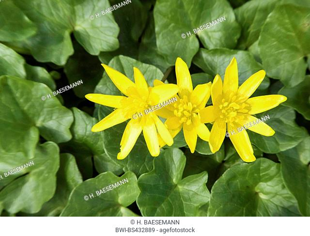 lesser celandine, fig-root butter-cup (Ranunculus ficaria, Ficaria verna), blooming, Germany, Lower Saxony