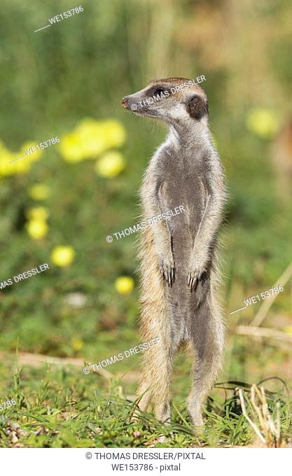 Suricate (Suricata suricatta). Also called Meerkat. Guard on the lookout. During the rainy season in green surroundings and with yellow Devil's Thorn (Tribulus...