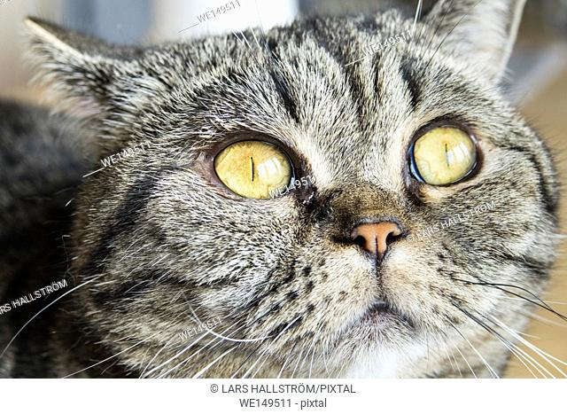 British shorthair cat looking away with curiosity. Close up of head and eyes