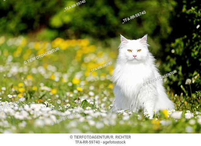 Siberian Cat sitting on flower meadow
