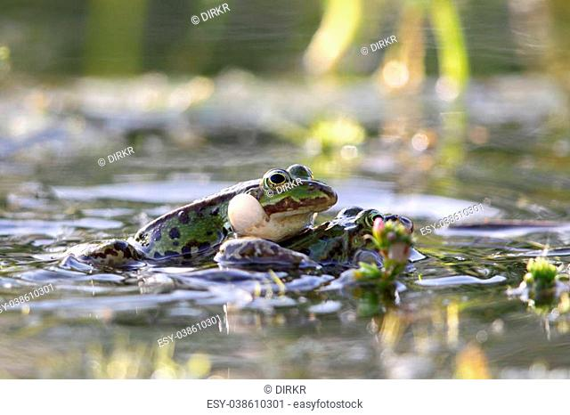 Edible frogs (Pelophylax esculentus) in the mating season in a pond in Frankfurt, Germany in spring