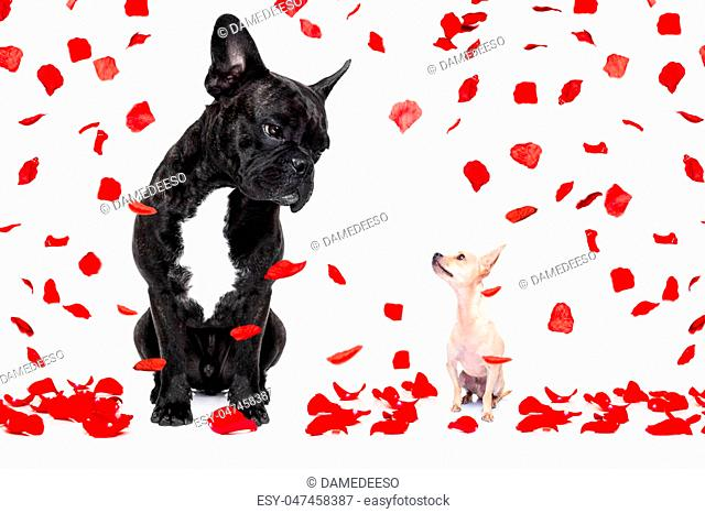 a big french bulldog and small tiny chihuahua dog looking at each other, in love isolated on white background on valentines day, rose petals flying like rain