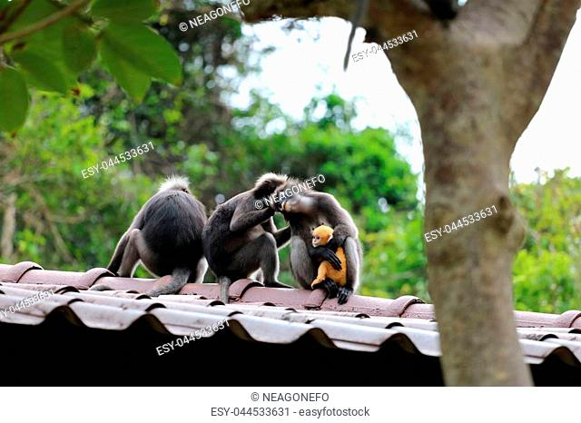 Dusky Langur or Leaf monkeys are caring yellow baby in the garden, Wildlife in Thailand