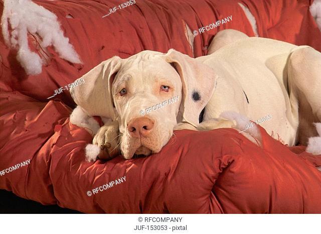 Great Dane dog - lying on destroyed sofa