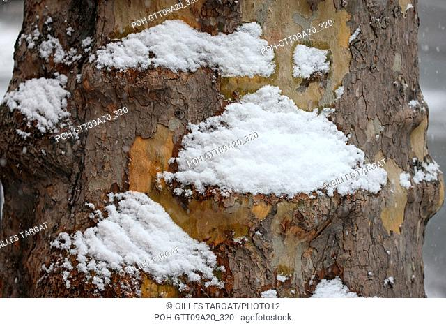 France, ile de france, paris 5th arrondissement, Snow, Snowy, Snowing, December 2009, pavement, Boulevard Saint Michel, Snow-covered tree trunk Photo Gilles...