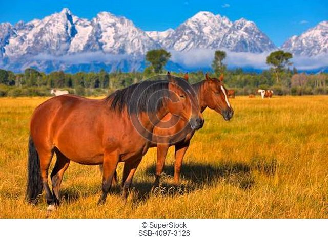 USA, Wyoming, Rocky Mountains, Grand Teton National Park, Two horses on field with mountains in background