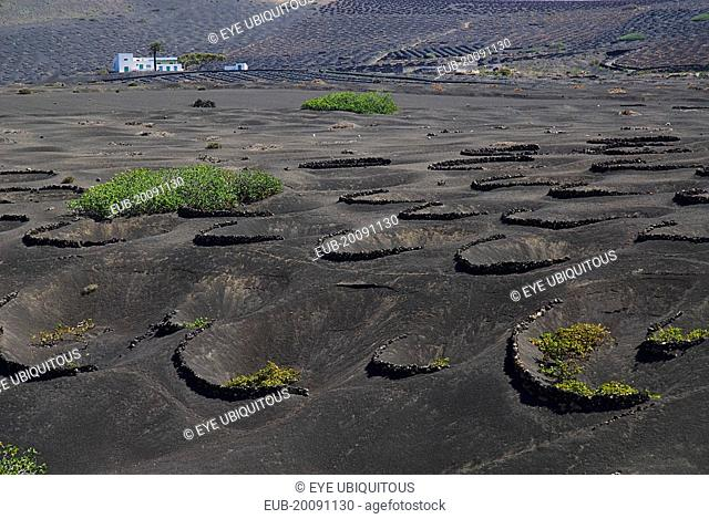 La Geria wine growing region. Rows of shallow craters and volcanic stone semi circles known as zocos which protect individual vines
