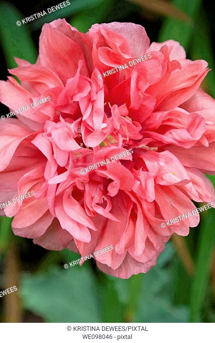 An antique pink peony Poppy