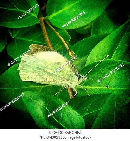 A butterfly perches on a plant in Prado del Rey, Sierra de Grazalema, Andalusia, Spain