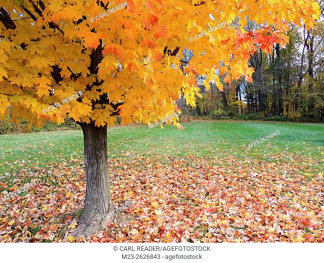 A maple tree covers the ground around it with colorful leaves but retains many on its branches, Pennsylvania, USA