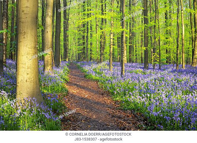 Path through a carpet of Bluebells in European beech forest, bluebells Hyacinthoides non-scripta and European beech trees Fagus sylvatica, Hallerbos, Belgium