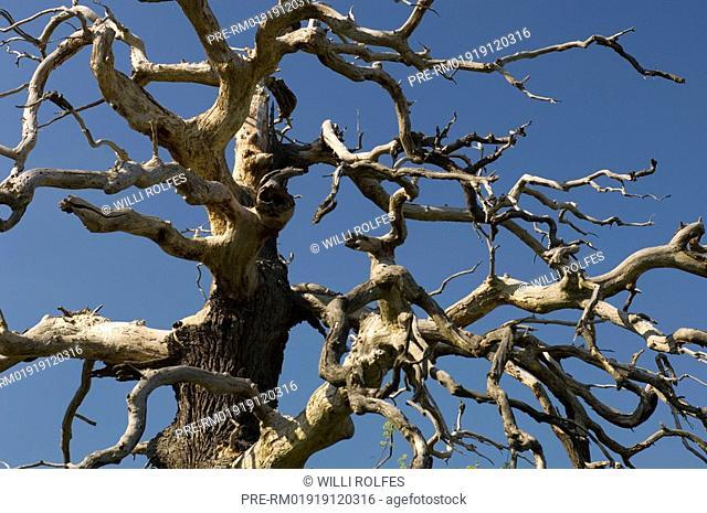 Dead old oak tree, Natura