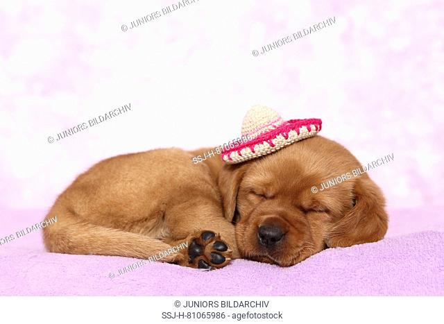 Labrador Retriever. Puppy (6 weeks old) sleeping on a blanket, wearing a crocheted sombrero. Studio picture seen against a pink background. Germany