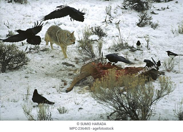 Coyote Canis latrans, scavenging on killed animal with Ravens Corvus corax, and Magpies, Yellowstone National Park, Wyoming
