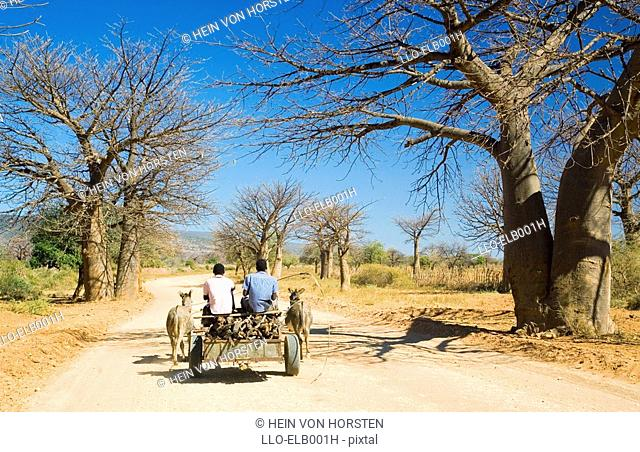 Donkey Cart on road with Boabab Trees  Venda, Limpopo Province, South Africa