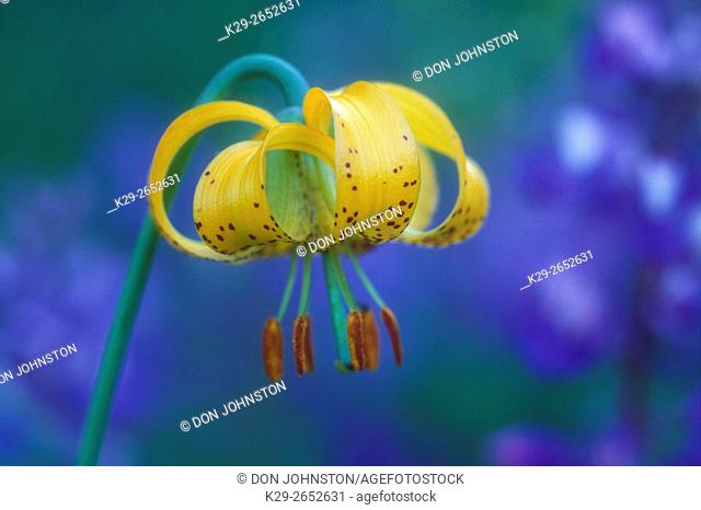 Alpine tiger lily/Columbia lily (Lilium columbianum), Olympic National Park, Washington, USA