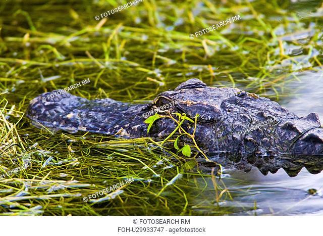 design alligators alligator north america united