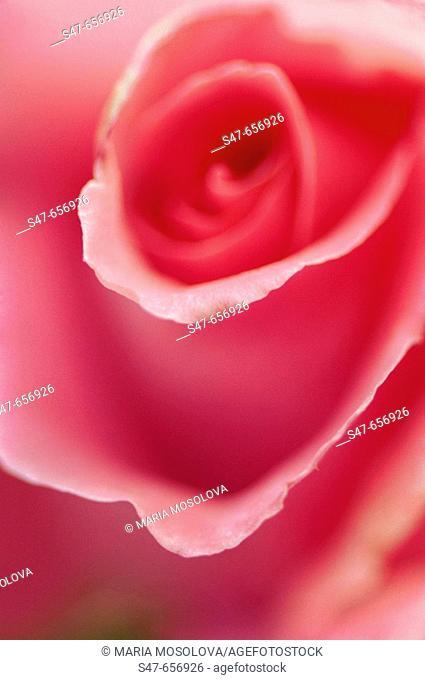 Pink Rose Flower Curves. Rosa hybrid. May 2007, Maryland, USA