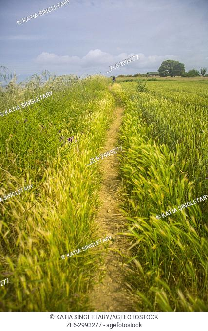Field of wheat and a tiny dirt path for mountain bikers or hikers in the middle of the green pastures