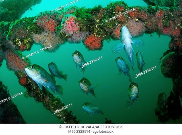 Rockfish in ship wreck, Santa Cruz Island, California, USA