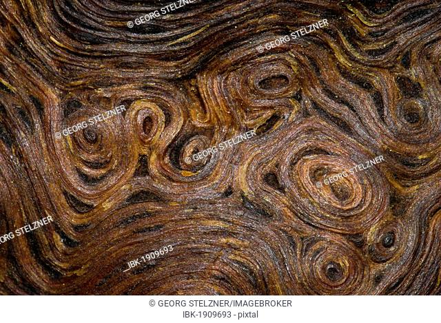 Root wood of an old oak tree (Quercus), detailed view, Moenchbruch nature reserve, Hesse, Germany, Europe