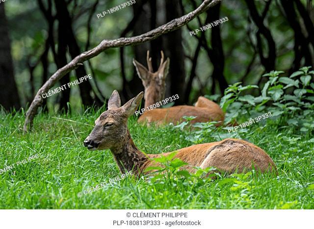 European roe deer (Capreolus capreolus) female / doe and male / buck resting in brushwood in summer