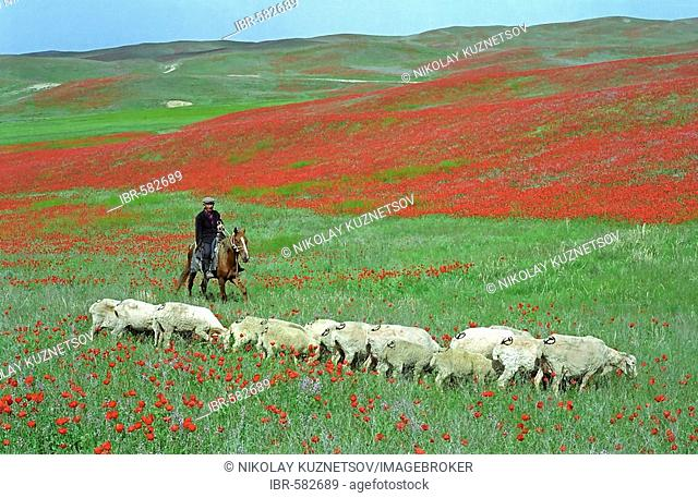 The blooming poppy in the steppe, Alma-Ata area, Kazakhstan