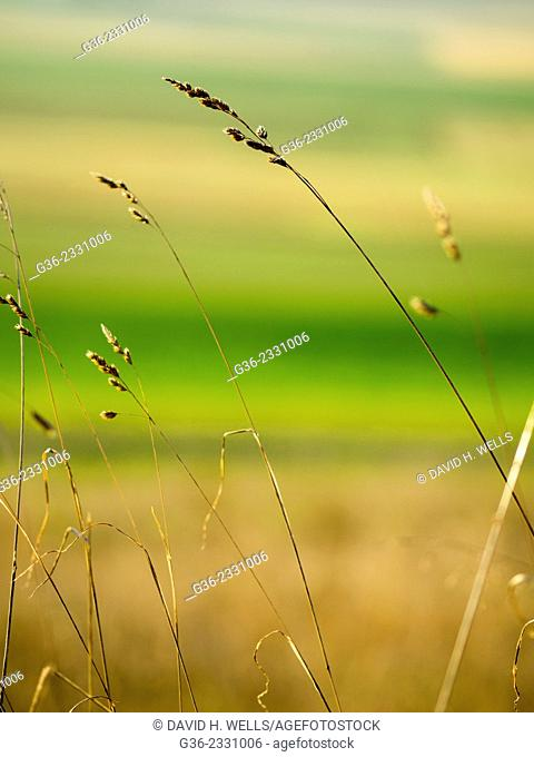 Close up of straw grass on field in Coupeville, Washington, United States