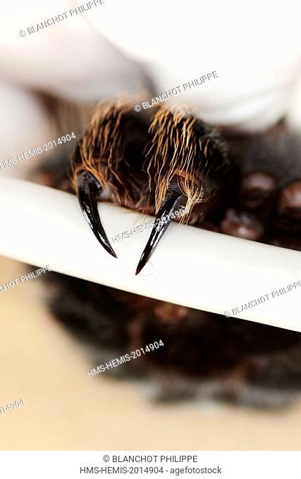 France, Paris, National Museum of Natural History, manipulation and sampling on a tarantula venom Brachypelma albopilosum (Theraphosidae)