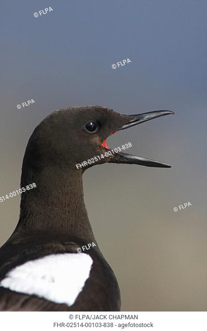 Black Guillemot Cepphus grylle adult, calling, close-up of head, Mousa, Shetland Islands, Scotland, august