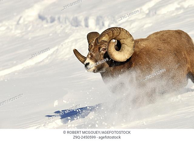 A close up image of a rocky mountain bighorn ram running down a snow covered hill side covered in the foothills of the rocky mountains of Alberta