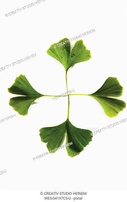 Ginkgo leaves, elevated view, close-up
