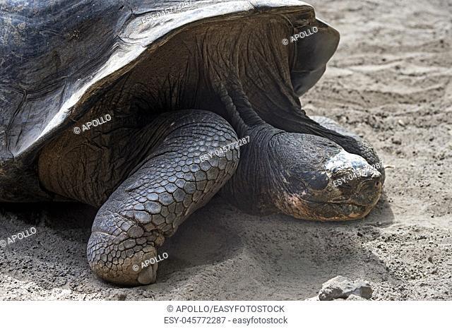 Galápagos giant tortoise (Chelonoidis nigra ssp), Tortoise breeding center of Isabela Island, Galapagos Islands, Ecuador
