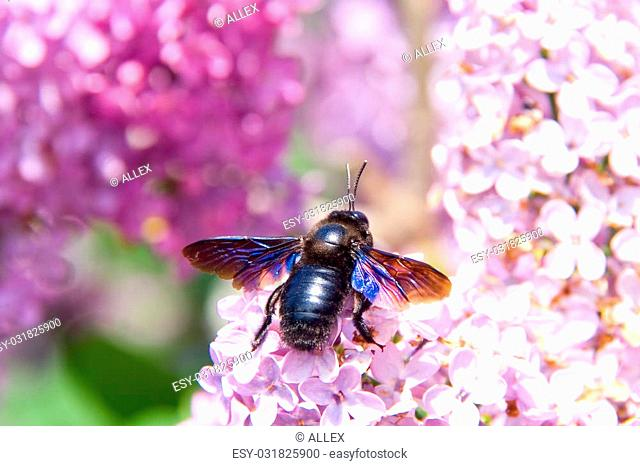 Big European carpenter bee (Xylocopa violacea) on lilac flowers in spring