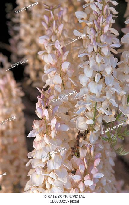 "Japanese wisteria (Wisteria floribunda ""Reindeer"")"